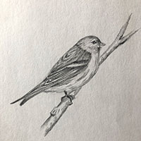 pencil drawing of finch