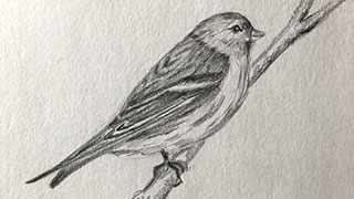 drawing of finch